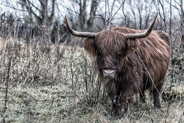 Schottische Highlander-Kuh aus nächster Nähe. in den Wäldern von Robin van Maanen