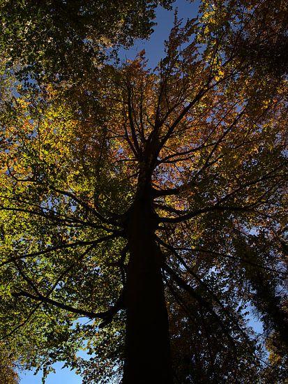 Beuk in herfst met verkleurde bladeren