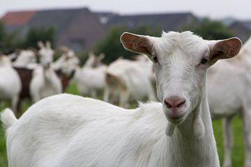 Witte geit portret