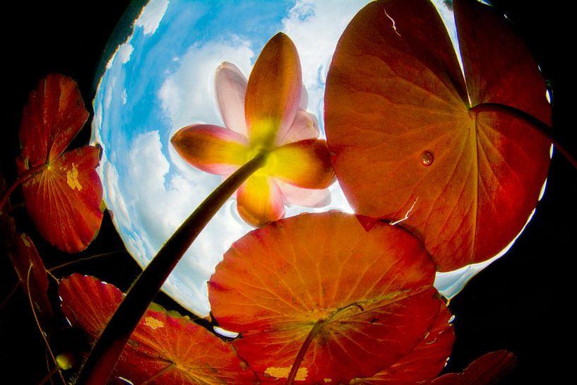 Waterlelie in Snell's window. van Filip Staes