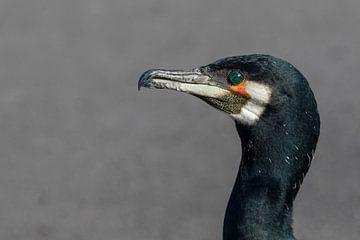 Cormorant van Ursula Di Chito