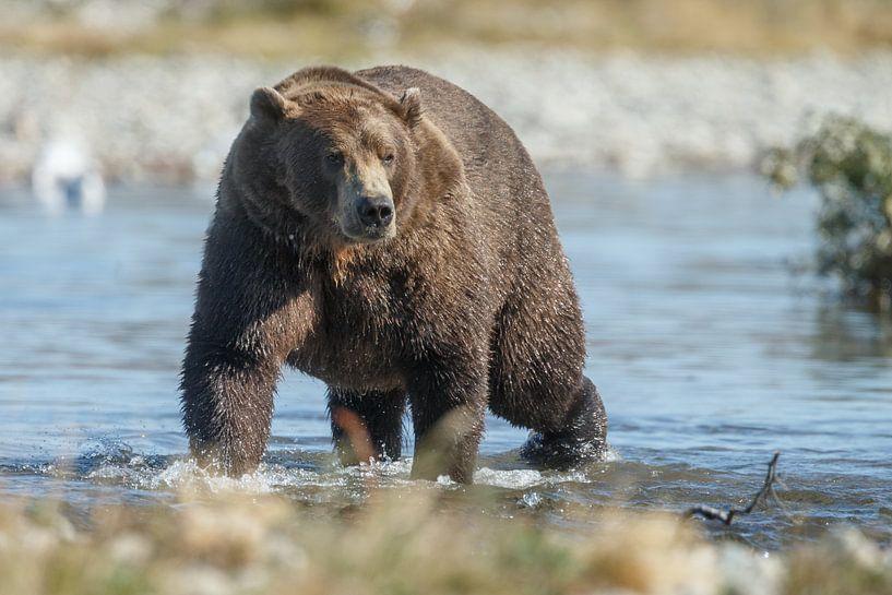 Grizzly beer op zoek naar zalm in de rivier van Menno Schaefer