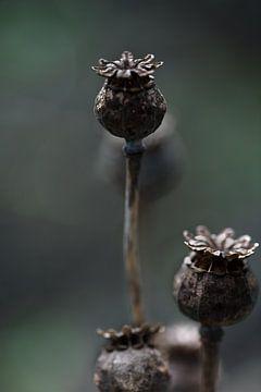 uitgebloeide bloemknop van klaprozen / papaver bollen van KB Design & Photography