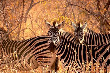 Zebras - op safari in Zuid Afrika van Sabine DG
