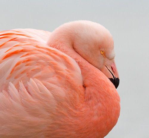 Flamingo portret van