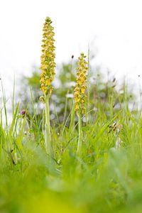 Poppenorchis - Orchis anthropophora van