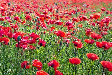 Mohnblumen blühen im Frühling von Ruud Morijn