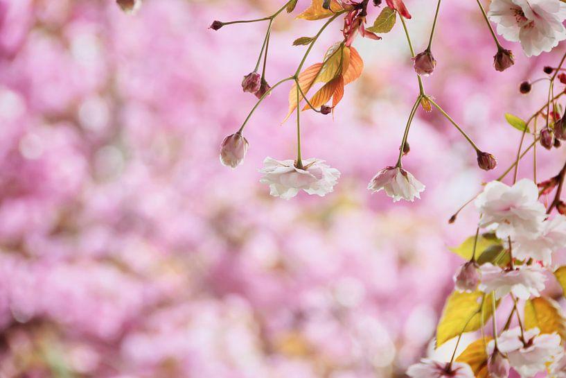 Romantische witte bloesem in het roze van Arja Schrijver Fotografie