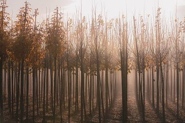 zonnige mist tussen de jonge boompjes van Tania Perneel