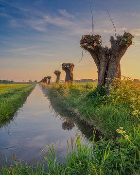 Knotwilgen in de polder van Bart Hendrix
