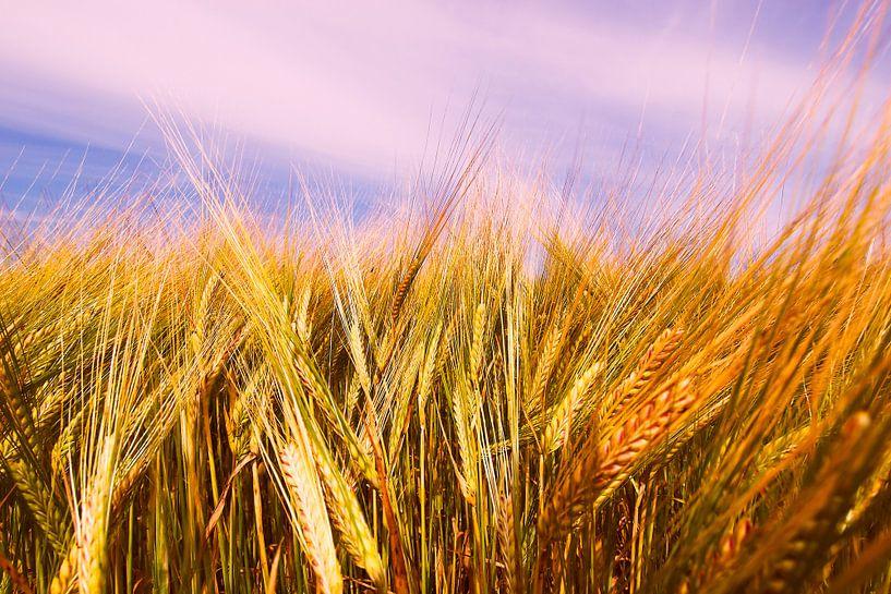 Barley Field in Summer van Jörg Hausmann