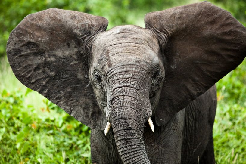 Jonge olifant van Feike Faase
