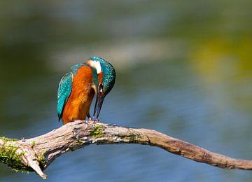 Eisvogel (Alcedo atthis) van Ursula Di Chito