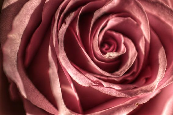 Rose van Mike Bing