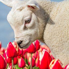 Lammetje en Tulpen op Texel / Lamb and Tulips on Texel van Justin Sinner Pictures ( Fotograaf op Texel)