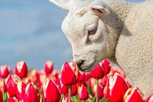 Lammetje en Tulpen op Texel / Lamb and Tulips on Texel van