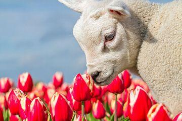 Lammetje en Tulpen op Texel / Lamb and Tulips on Texel sur Justin Sinner Pictures ( Fotograaf op Texel)