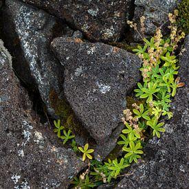 Leven tussen lavasteen van DuFrank Images
