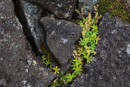 Leven tussen lavasteen