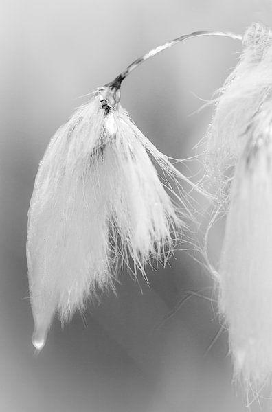 Wollegras
