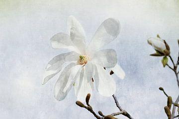 Magnolienblüte sur Heike Hultsch