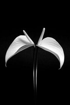 Schwarz-Weiß-Anthurium von Alice Sies