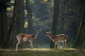 Damhirsche, Damwild ( Dama dama ), Kahlwild, Alt- und Jungtier auf einer Lichtung im Herbstwald, Eur von wunderbare Erde