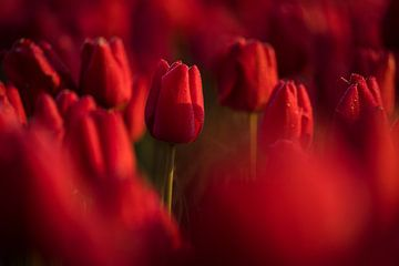 Tulipes rouges sur Rick Kloekke