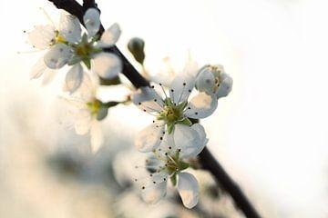 Het is lente, witte lentebloesem von Frouwkje Fotografie