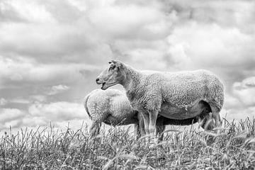 Schafe vor einem typisch niederländischen Wolkenhimmel. Das Bild wurde in Friesland aufgenommen. Wou von Wout Kok