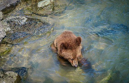 Jonge beer zoekt voedsel in de rivier, Alaska