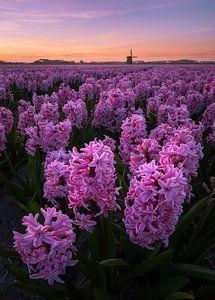 Bloeiende hyacinten met windmolen van Tomas van der Weijden