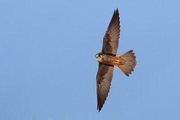 Eleonora's Valk, Falco eleonorae van Beschermingswerk voor aan uw muur
