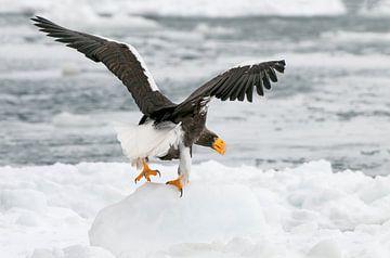 Stellers zeearend op ijsschotsen II van Harry Eggens
