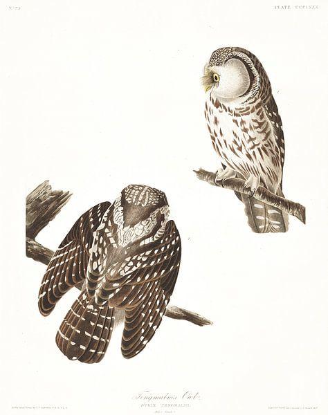 Ruigpootuil van Birds of America