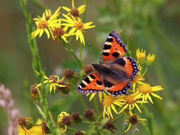 Kleurrijke Kleine Vos op bloem van Edwin Butter