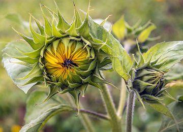 Zwei knospende Sonnenblumen aus nächster Nähe von Ruud Morijn