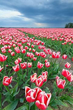 Blühende rote und rosa Tulpen auf einem Feld von Sjoerd van der Wal