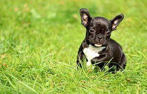 Französische Bulldogge 10