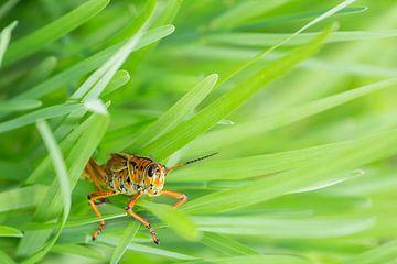 Sprinkhaan in het hoge gras van Cees Stalenberg