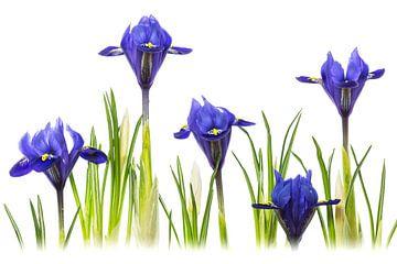 Iris Harmony - (Reticulata 'Harmony') van Carola Schellekens