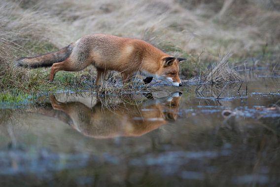 Rotfuchs ( Vulpes vulpes ) auf der Jagd am Rand eines kleinen Tümpels, Spiegelung im Wasser