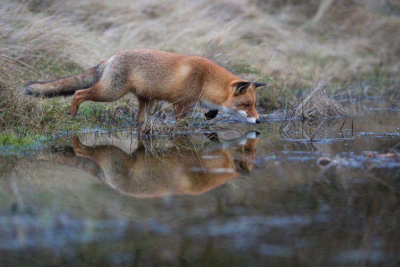 Rotfuchs ( Vulpes vulpes ) auf der Jagd am Rand eines kleinen Tümpels, Spiegelung im Wasser van wunderbare Erde