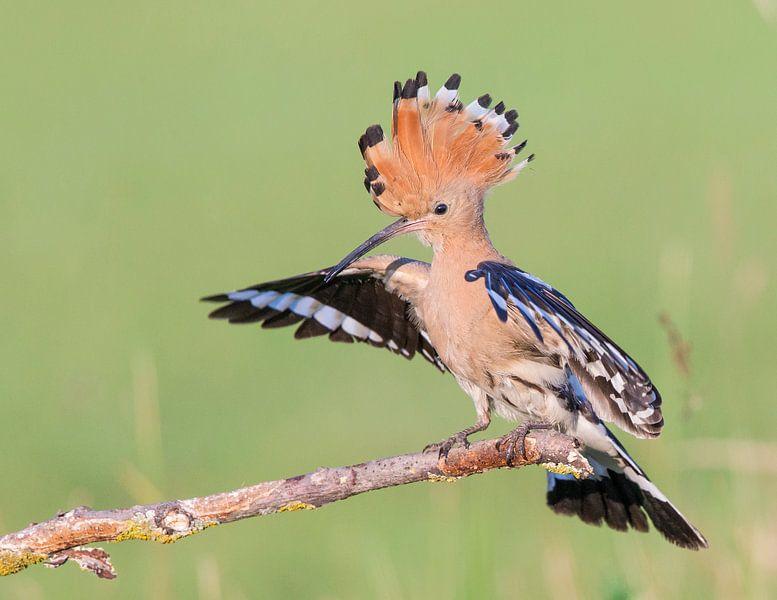 Hop een tak met gespreide vleugels