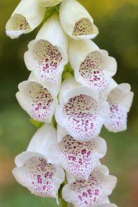 Wit vingerhoedskruid met paarse vlekken- close up