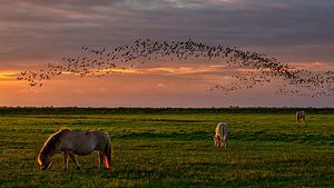 Konikpaarden op de Slikken en vogels boven  het natuurgebied  van