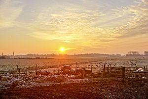 grazende schapen met zon op  achtergrond