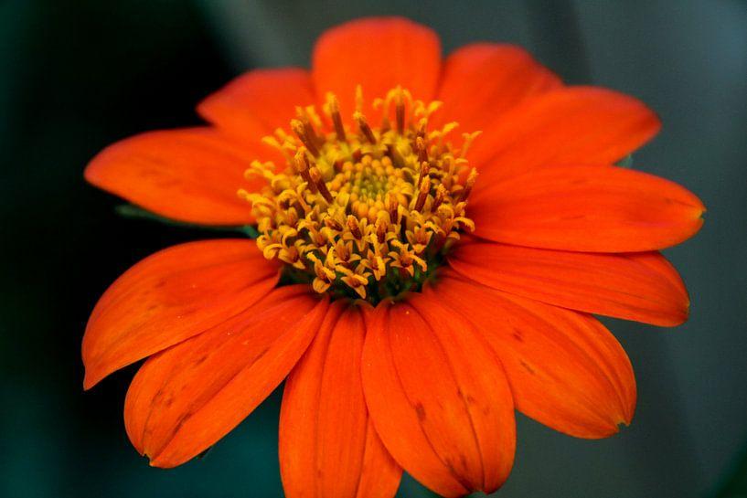Oranje bloem van Koop je Canvas