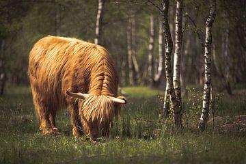 Grazende Schotse hooglanders! van Peter Haastrecht, van