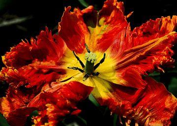 Rode tulp helemaal open van